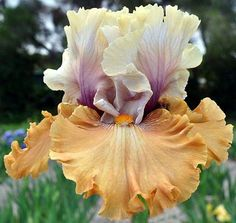 "Bearded Iris ""Cinderella's Secret""                                                                                                                                                                                 More"
