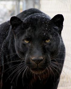 black panther Black panthers are my favourite animals, they are truly beautiful.Black panthers are my favourite animals, they are truly beautiful. Black Animals, Animals And Pets, Cute Animals, Puma Animal Black, Wild Animals, Black Jaguar Animal, Beautiful Cats, Animals Beautiful, Black Panther Images
