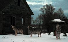 FOX NEWS: Chernobyl's radioactive 'wildlife preserve' spawns growing wolf population Chernobyl Nuclear Power Plant, Chernobyl Disaster, Chernobyl Now, Chernobyl 1986, Rest Of The World, Wonders Of The World, Wolf Population, Apocalypse Aesthetic, Nuclear Disasters
