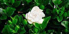 Οι δέκα πιο σημαντικές συμβουλές για την ανάπτυξη της γαρδένιας, για πράσινο υγιές φύλλωμα και πλούσια ανθοφορία Home And Garden, Flora, Plants, Garden, Seeds, Ikebana, Gardenia, Rose, Flowers