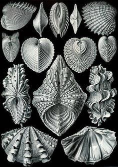 These black and white vintage nature study prints look beautiful framed. From Ernst Haeckel's Kunstforment der Natur, Artforms of Nature. Love how the lines, textures and shapes influenced textiles and jewellery patterns of the Art Nouveau Era. Plate 55. Acephala
