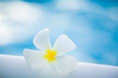 White Temple Tree flower