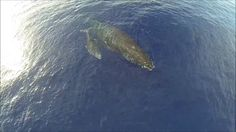 Humpback Whales in Maui From a Drone. A baby whale snuggling with her mother - as seen from a drone. Thanks to Marty and Ian, I got to take ...