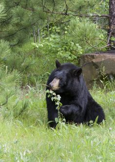 Black bear eating leaves