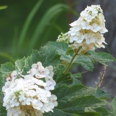 """Works under Black Walnut! Oakleaf Hydrangea Info: How To Care For An Oakleaf Hydrangea - Oakleafs are native to the United States, unlike their famous cousins with pink and blue """"mophead"""" flowers, and are tough, cold hardy and drought resistant. Click this article for more tips on how to care for an oakleaf hydrangea."""