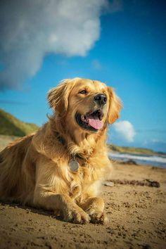 Golden Retriever enjoying summertime at the beach