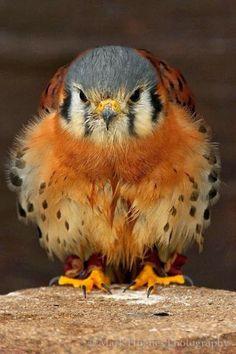 American Kestrel  a.k.a. Sparrow Hawk, chick