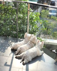 Westie Puppies, Puppies And Kitties, Westies, Terrier Puppies, Doggies, Highlands Terrier, West Highland Terrier, Animals And Pets, Baby Animals