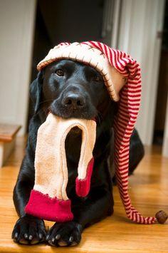 Cutest Christmas Pet Photo Session Idea | Dog | Lab | Puppies | Dogs | Pet Photography | Black Labrador Retriever   | Holiday | Puppy | Portraits
