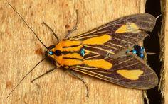 Tiger moth, Arctiinae