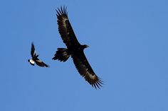Australian magpie defending its territory against an Eagle.