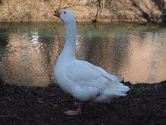 Gâscă, Animale, Alb, Şeptel, Pasăre, Păsări De Curte Free Pictures, Free Images, Image Resources, Livestock, Bird, Birds