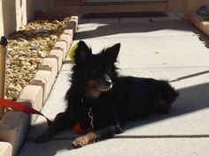 My name is BOO ID A068466 & I'm a neutered 8yo male black Pomeranian / Min Pin ~ my foster says I'm V calm, fully housetrained & love car rides. I wiegh 20lbs & only bark when the doorbell rings. I'm seeking my furever home - can you help me find it ?  Manatee County Animal Services at (941) 742-5933