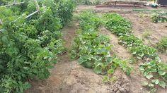Hoy en Huertos urbanos Alboraia daremos unos consejos sobre la siembra del melon. Búscanos en el blog, facebook o twitter. Valencia, Facebook, Twitter, Plants, Blog, Veggie Gardens, Urban, Tips, Planters