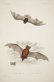 Peale's Free-tailed bat