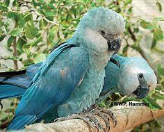 Ararinha Azul, perhaps the most endangered bird on the planet