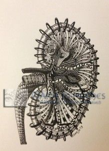 Kidney, ink on paper, 5x8.5