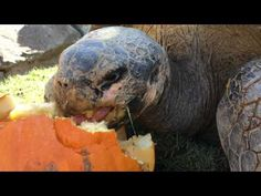 nice Watch These Galapagos Tortoises Nom on Some Tasty Pumpkins
