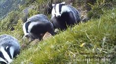 Antics of a young Kintail badger from Kintail Nature on Vimeo