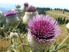 Milk Thistle For Gout – How An Unattractive Weed Can Help With Your Gout Natural Remedies For Gout, Gout Remedies, Glass Dropper Bottles, Amber Glass Bottles, Herbal Tinctures, Herbalism, Milk Thistle Uses, Foods That Cause Gout, What Is Gout