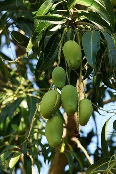 Mangos de oaxaca México