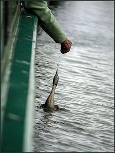 Feeding time :) @ Calcutt Marina by Blaine Harris www.calcuttboats.com