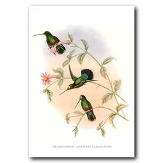 Vintage bird art by John Gould, showing the Veruguan Lance-bill hummingbird (Dorifera veraguensis), from Costa Rica and Panama, also known as the Green-fronted Lancebill. This is a fine art print of the lithograph Gould made in the mid 1800s.