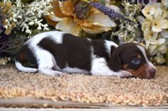 Dachshund Breeders, Dachshund Puppies For Sale, Dachshunds, Miniatures, Dogs, Blue, Animals, Dachshund, Animales