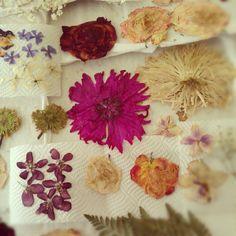 my newestbatch of pressed flowers :) by katie siepierski