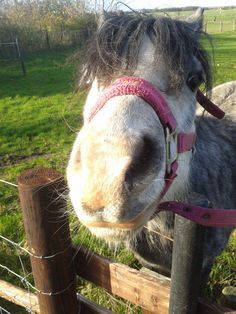 Welsh A pony