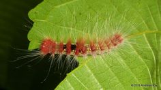 https://flic.kr/p/D19XvR   Hairy caterpillar   from Ecuador Megadiverso: www.flickr.com/andreaskay/albums