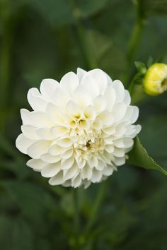 Boom Boom white is consistently one of our favourite white Dahlias. It's a perfect large round ball with a creamy white colour and long stems. White Dahlias, White Flowers, Beautiful Flowers, Floral Wedding, Wedding Flowers, September Flowers, Grandmas Garden, Flowery Wallpaper, English Gardens