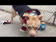 IN LOVING MEMORY OF WONDERFUL GARBANZO❤️ 💔💔💔 I'M TOTALLY HEARTBROKEN AND CAN'T UNDERSTAND WHY NO ONE CAME FOR THIS POOR LITTLE SUNSHINE BOY💔💔 HE WAS MURDERED 1/10/17💔💔 WHY??? 💔💔 Manhattan Center My name is GARBANZO. My Animal ID # is A1100908. I am a male brown and white american staff. The shelter thinks I am about 2 YEARS I came in the shelter as a STRAY on 01/02/2017 from NY 10002, owner surrender reason stated was STRAY.