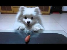 Just Let This Pomeranian Have That Sausage, For Christ's Sake