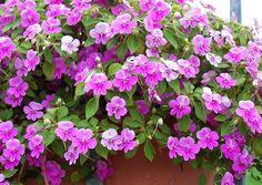 Impandiens Walleriana Butterfly Lilac ein Lila Schmetterling Fleissiges Lieschen Balkonbepflanzung Schatten
