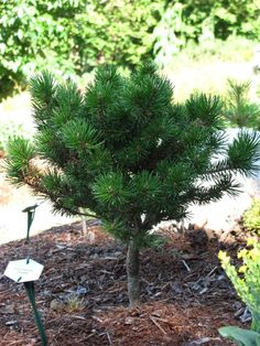 Pinus banksiana 'Chippewa'