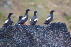 Bird Watching in the Russian Arctic Diomede Island Russia