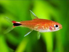Tropical Freshwater Fish, Freshwater Aquarium, Tropical Fish, Tropical Aquarium, Tetra Fish, Fish List, Nano Tank, Paludarium, African Cichlids