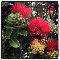 Ohia Lehua @ Halema'uma'u Hawaiian Gardens, Hawaiian Leis, Hawaiian Quilts, Tropical Garden, Tropical Plants, Tropical Flowers, Hawaii Flowers, Hawaii Life, Rave