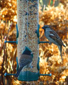 Male Black-Eyed Junco on the left and male House Sparrow on the right seen at our bird feeder.