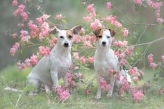 Jack Russell Terrier Chad and Isis Maria S. by Heavenly Pet Photography #dog #photography #pets #JackRussell #terrier #flowers
