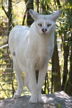 A white Serval cat, quite rare.