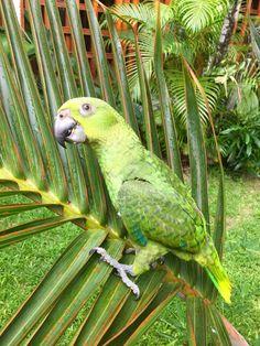 Loro Real, Chiapaneco.  Loro Amazónico