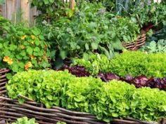 Companion Gardening It's part folklore, part science, but companion planting just may help your garden grow. - Companion planting just may help your garden grow. Vegetable Garden Planner, Raised Vegetable Gardens, Raised Garden Beds, Vegetable Gardening, Raised Beds, Gardening Hacks, Diy Herb Garden, Tomato Garden, Garden Soil