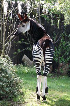 Okapi. Zoo Leipzig. - Okapi