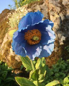 Endelig! Etter flere forsøk blomstret den vakreste av de alle, blå valmue søster Plants, Flora, Plant, Planting