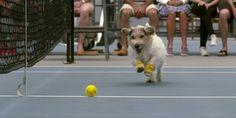Cães restados como apanha apanha-bolas no ténis.Tuga Videos
