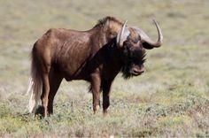 Swartwildebees South Africa, Wildlife, Animals, Animales, Animaux, Animal, Animais