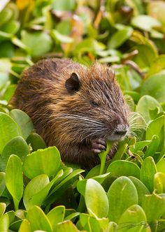 Nutria - they're starting to invade our waterways in Washington. They don't mind us at all when we walk right by them.