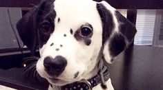35 Reasons You Need A Dalmatian In Your Life Right Now !